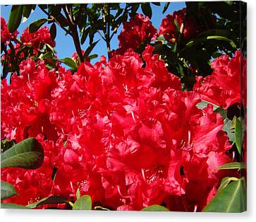 Red Rhododendron Flowers Floral Art Prints Baslee Canvas Print by Baslee Troutman