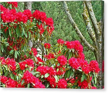 Red Rhododendron Garden Art Prints Rhodies Landscape Baslee Troutman Canvas Print by Baslee Troutman