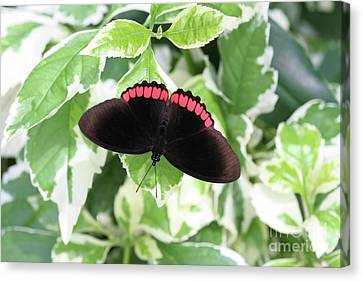 Red Rim Butterfly #2 Canvas Print