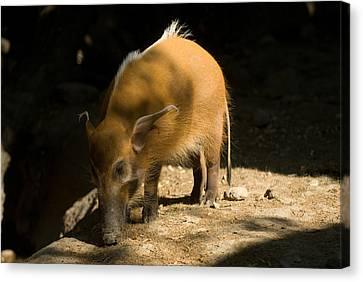 Henry Doorly Zoo Canvas Print - Red River Hog At Omahas Henry Doorly by Joel Sartore