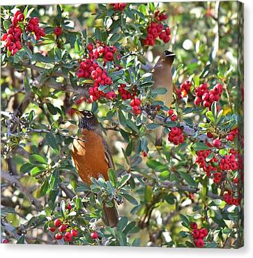 Red Robin And Cedar Waxwing 1 Canvas Print by Linda Brody