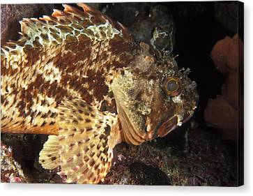 Red Rock Cod Fish. Scorpaena Papillosa Canvas Print by James Forte