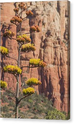 Red Rocks And Century Plant Canvas Print