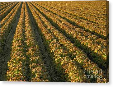 Red Romaine Lettuce Field Canvas Print by Inga Spence
