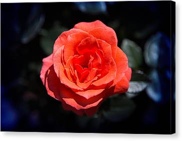 Red Rose Art Canvas Print by Milena Ilieva