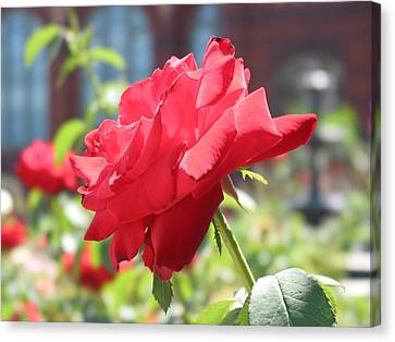 Red Rose Canvas Print by Brian McDunn