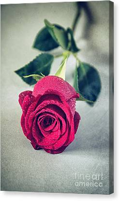 Red Rose Canvas Print by Carlos Caetano
