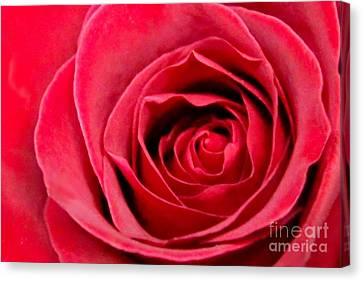 Canvas Print featuring the photograph Red Rose by DJ Florek