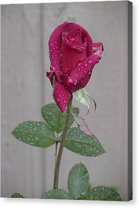 Red Rose In Rain Canvas Print