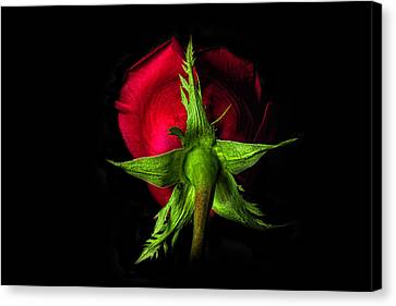 Red Rose In Reverse Canvas Print by Zev Steinhardt