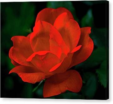 Red Rose In Sunlight Canvas Print