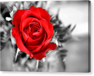 Red Rose Canvas Print by Karen M Scovill