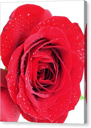 Red Rose Canvas Print by Kathy M Krause