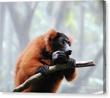 Red Ruffed Lemur Eating On A Tree Branch Canvas Print