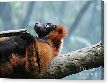 Red Ruffed Lemur Laying On His Back Canvas Print