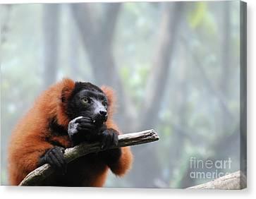 Red Ruffed Lemur Snacking With Sharp Teeth  Canvas Print
