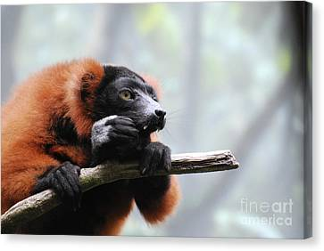 Red Ruffed Lemur With Long Fangs Clinging To A Branch Canvas Print