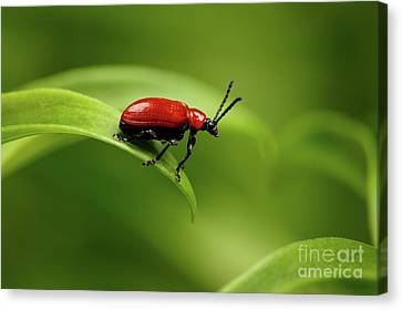 Red Scarlet Lily Beetle On Plant Canvas Print by Sergey Taran