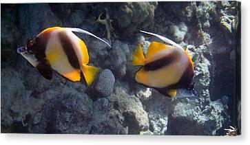 Red Sea Bannerfish 2 Canvas Print