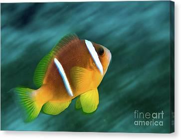 Red Sea Clownfish  Canvas Print by Hagai Nativ