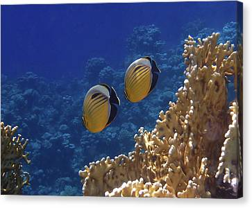 Red Sea Exquisite Butterflyfish 2 Canvas Print