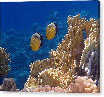 Red Sea Exquisite Butterflyfish  Canvas Print