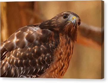 Red Shouldered Hawk 1  Canvas Print by Chris Flees