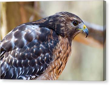 Red Shouldered Hawk 2 Canvas Print by Chris Flees