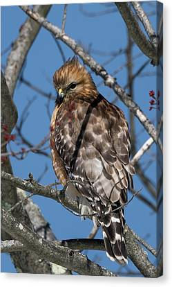 Canvas Print featuring the photograph Red Shouldered Hawk 2017 by Bill Wakeley