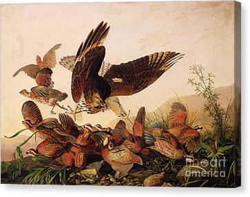 Red Shouldered Hawk Attacking Bobwhite Partridge Canvas Print by John James Audubon