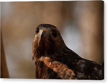 Red Shouldered Hawk Close Up Canvas Print by Chris Flees