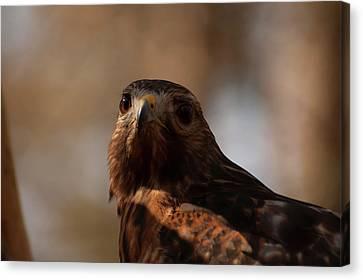 Red Shouldered Hawk Close Up Canvas Print