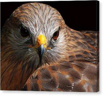 Red-shouldered Hawk Canvas Print by Lorenzo Cassina