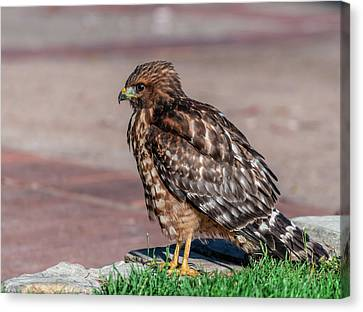 Red-shouldered Hawk Canvas Print by Martina Thompson
