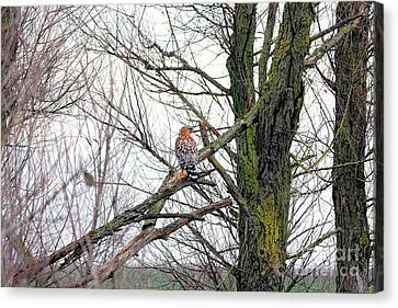 Red Shouldered Hawk Canvas Print by Wingsdomain Art and Photography