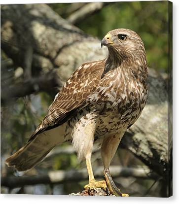 Canvas Print featuring the photograph Red Shouldered Hawk With Prey by Bradford Martin