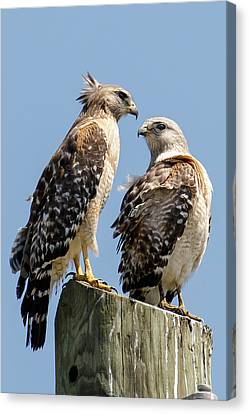 Red-shouldered Hawks Making Out Canvas Print