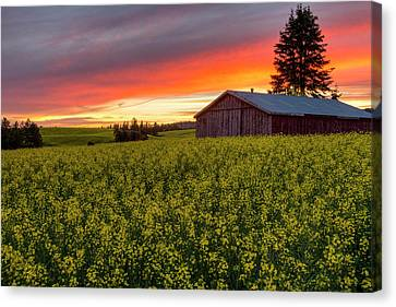 Red Sky Over Canola Canvas Print by Mark Kiver