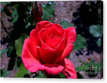 Canvas Print featuring the photograph Red Splendor by David Bishop