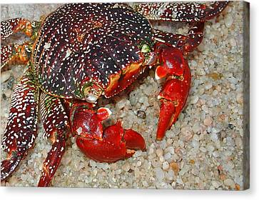 Red Spotted Crab Canvas Print by Karon Melillo DeVega