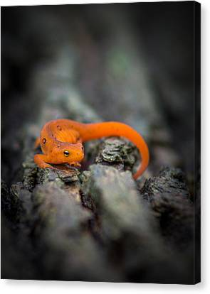 Canvas Print featuring the photograph Red Spotted Newt by Chris Bordeleau