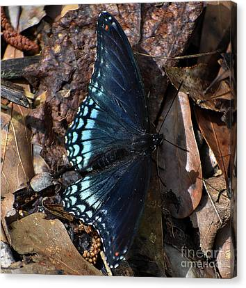 Canvas Print featuring the photograph Red Spotted Purple Admiral by Skip Willits