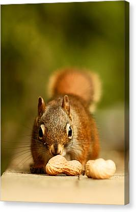 Squirrel Canvas Print - Red Squirrel   by Cale Best