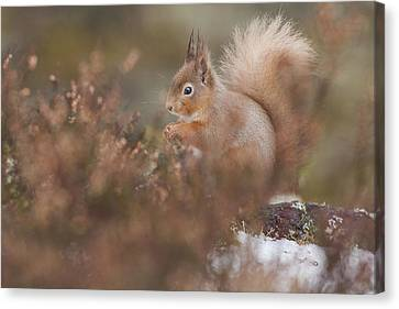 Bushy Tail Canvas Print - Red Squirrel Amongst The Heather by Jenny Hibbert