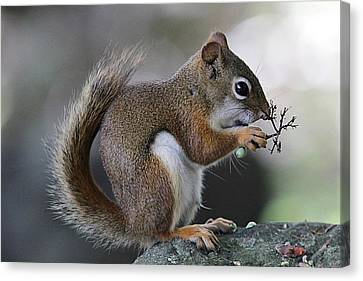 Bushy Tail Canvas Print - Red Squirrel Eating Berries by Linda Crockett