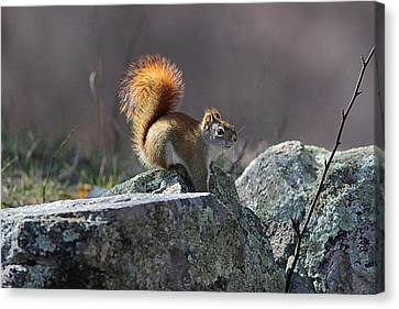Red Squirrel In The Winter Sunshine Canvas Print by Linda Crockett