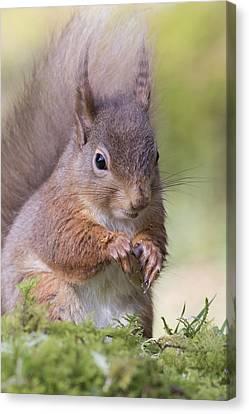 Red Squirrel - Scottish Highlands #1 Canvas Print