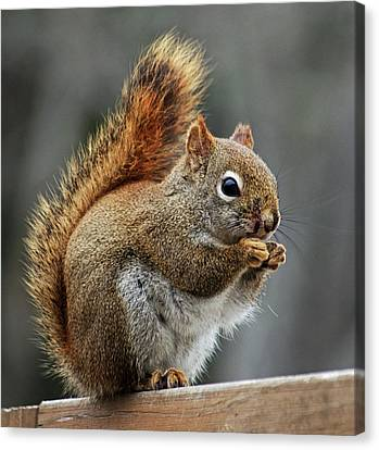 Red Squirrel On Wooden Fence Canvas Print by Jeff Galbraith