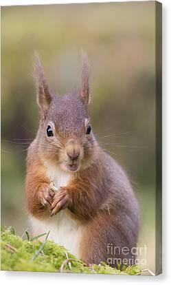 Red Squirrel - Scottish Highlands #18 Canvas Print