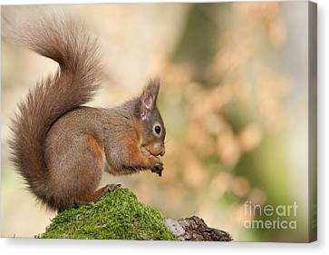 A Moment Of Meditation - Red Squirrel #27 Canvas Print